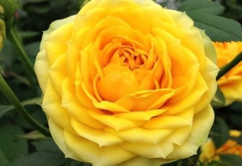Rose, foto: Rosa Eskelund, Haveselskabet