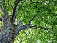 Vær med til at plante borgmesterens gave-træ