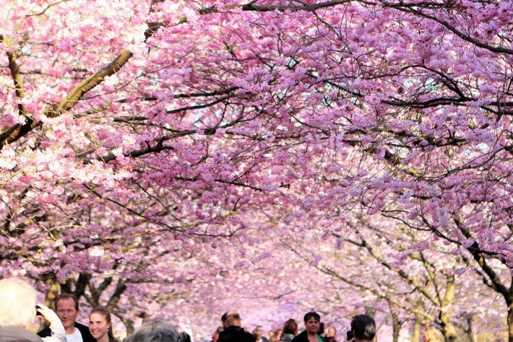De lyserøde blomster springer snart ud - i år åbner Kirsebæralléen