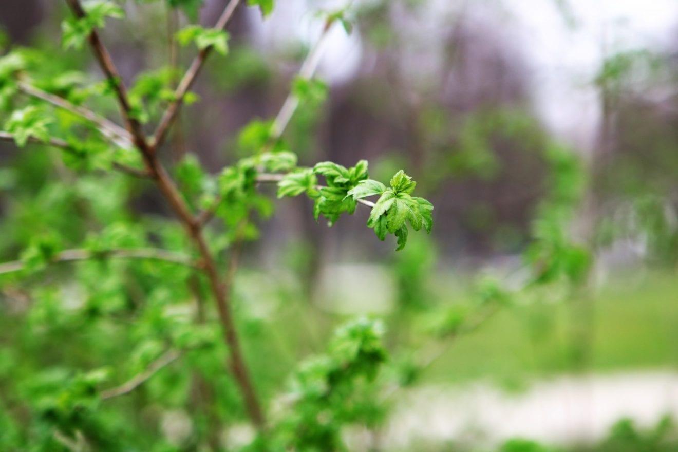 Snus til Søndermarkens skønne forår